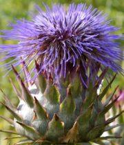 Thistle-purple