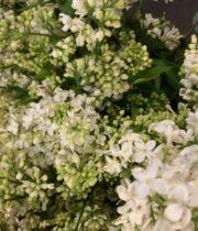 Lilac, California-white