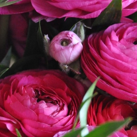 ranunculus hot pink