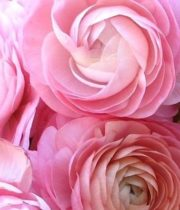 Ranunculus, Tecate-light Pink