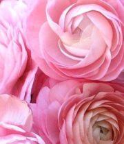 Ranunculus, Tecate-light Pink