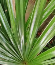 Raphis Palm Fronds, Large