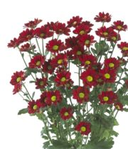 Mums, Spray-Daisy-red