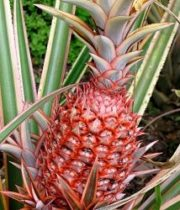 Pineapple, Ornamental-large-red