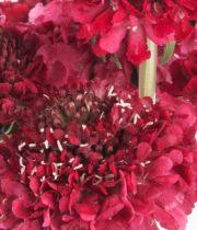 Scabiosa-red