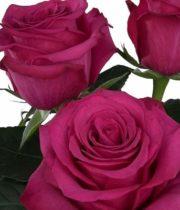 Roseberry 50cm Roses, SA
