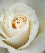 Rose, Anastasia-SA