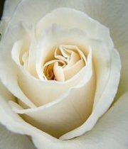 Cream Anastasia Roses