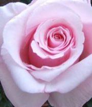 Pink Anna 50cm Roses, SA