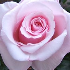 rose-anna-pink