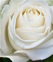 Rose, Blizzard-SA