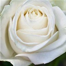 rose-blizzard-white
