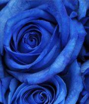 Rose, Tinted Blue-SA