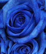 Blue Tinted 50cm Roses, SA