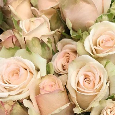 rose-paja