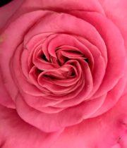 Ashley Garden Rose, SA