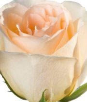 Rose, Versilla-SA