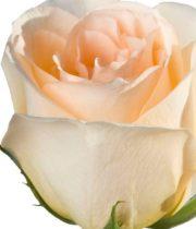 Peach Versilla 50cm Roses, SA