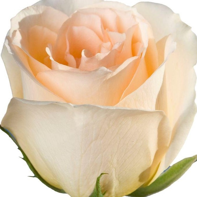 wholesale flowers | rose versilla