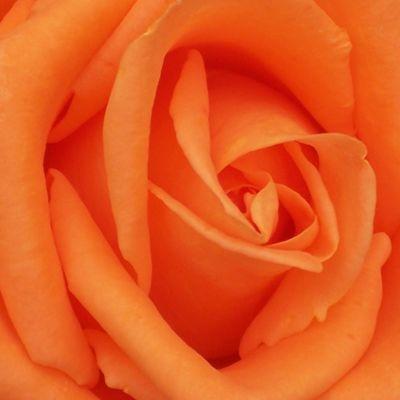 wholesale flowers | rose voodoo