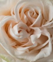 Wedding Spirit 50cm Roses, SA