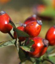 Rose Hips-red