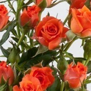 rose=spray-alegria-orange