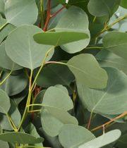 Eucalyptus, Silver Dollar