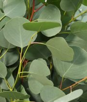 Silver-dollar- Eucalyptus Wholesale