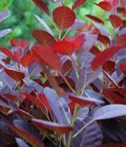 Cotinus, Smokebush-brown