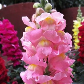 wholesale flowers | snapdragons pink