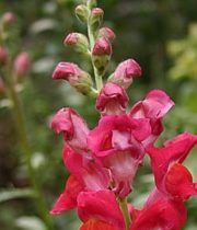 Snapdragons-red