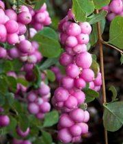 Snowberry-pink
