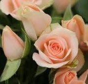 Peach Ilse Spray Roses