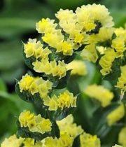Statice, Sinuata-yellow