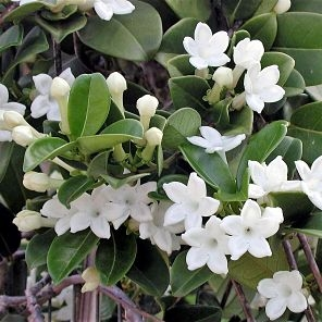 stephanotis-vine