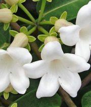 Stephanotis, 25 Blooms