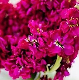 wholesale flowers | stock fuchsia