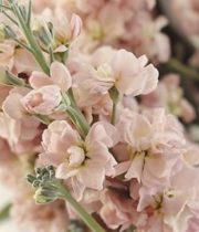 Wholesale Flowers | Stock Peach