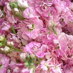 wholesale flowers | stock pink