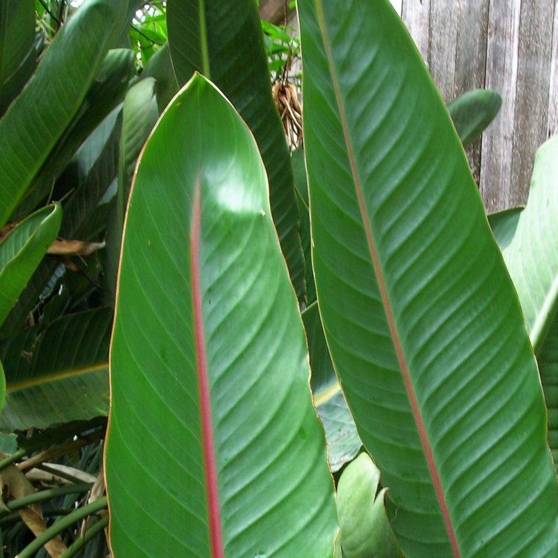strelitzia-leaves wholesale