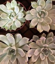 Succulents, Large 6″
