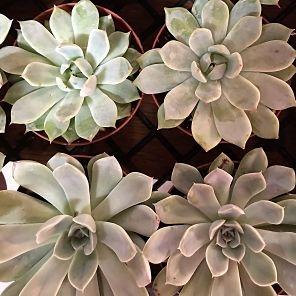 wholesale flowers | succulents large