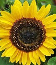 Sunflowers, Sunbright-yellow (regular)