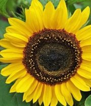 Sunflowers, Sunbright-yellow (regular)