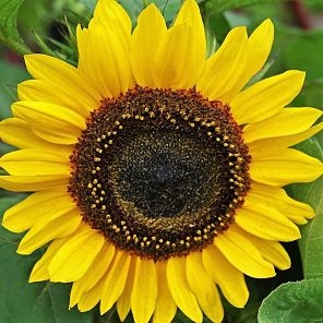 wholesale flowers | sunflowers yellow