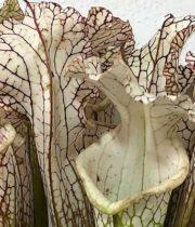 Saracena, Swamp Lily-white/brown