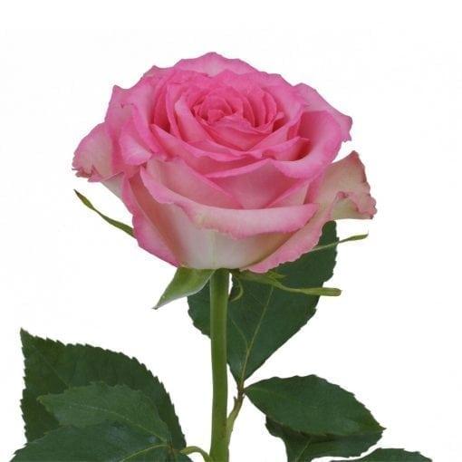 sweet Unique Rose
