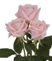Rose,Sweet Escimo-light Pink