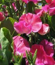 Sweet Peas-hot Pink